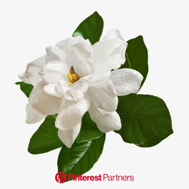 White jasmine PNG and Clipart | Flower illustration, Flowers reference, Jasmine flower illustration