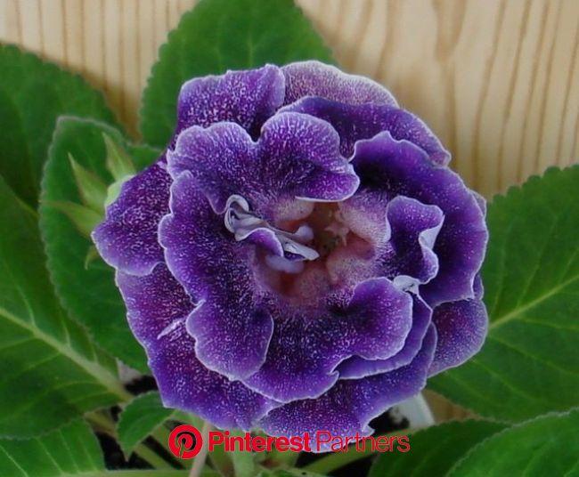 Махровые глоксинии фото   Комнатные растения, Комнатные цветы, Цветы