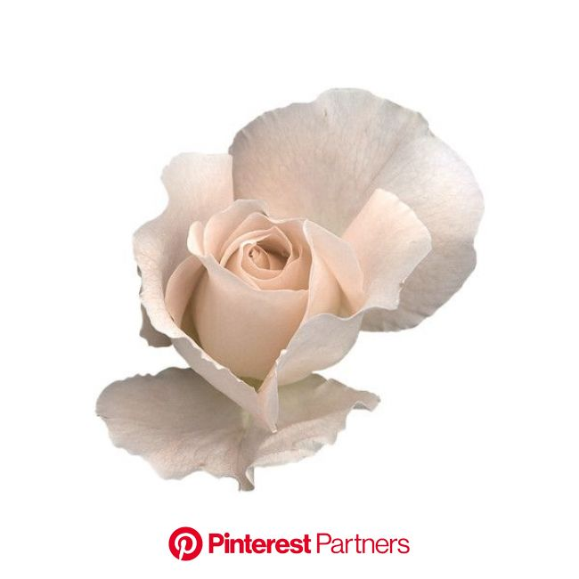 White rose png, Roses png, Transparent flowers