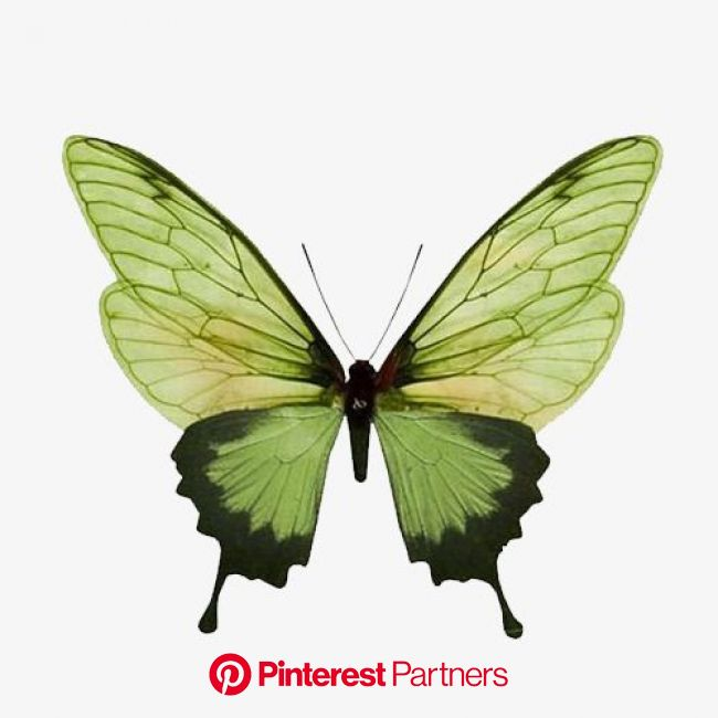 Green Butterfly, Butterfly Clipart, Green, Butterfly PNG Transparent Clipart Image and PSD File for Free Download | Butterfly art, Insects, Butterfly