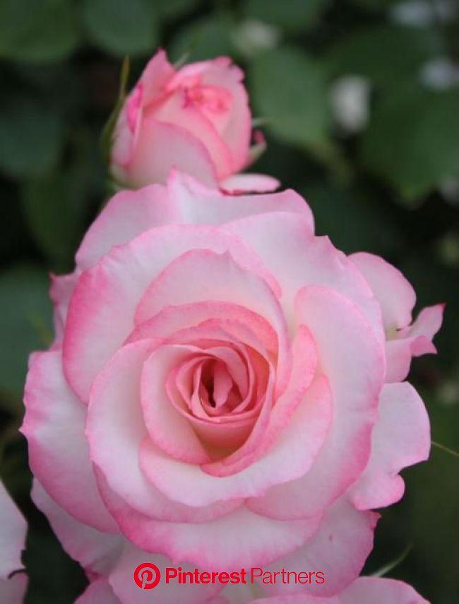 ハウステンボス バラ祭り2011 2 (ハウステンボス周辺) - 旅行のクチコミサイト フォートラベル | きれいなバラ, バラ, きれいな花