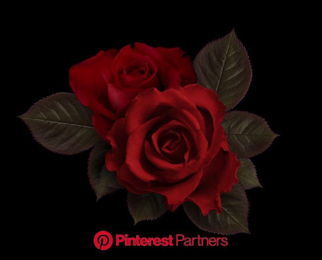 Яндекс.Фотки переехали | Розы, Красные розы, Цветы