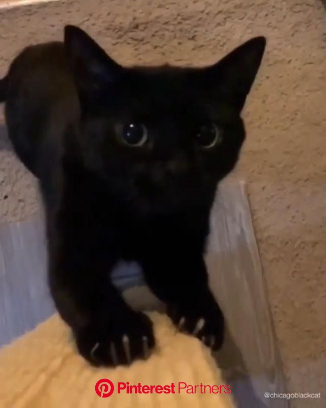 Hi, I'm a cute black cat, take my kiss [Video] | Cute baby cats, Funny cute cats, Baby cats