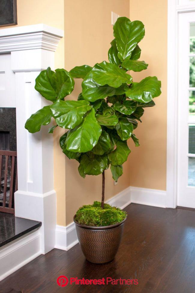 Fiddle Leaf Fig Full Size Ficus Lyrata Plants For Sale Online | Ficus lyrata, Fiddle leaf fig tree, Indoor plants