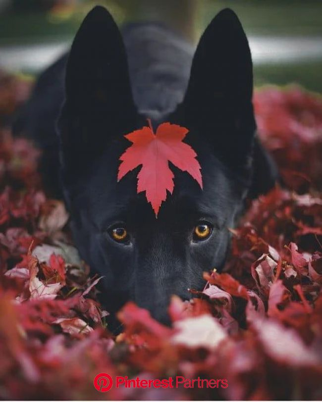 A am Black but i am cool as well - Awesome | Fall dog photos, Dog photoshoot, Cute animals