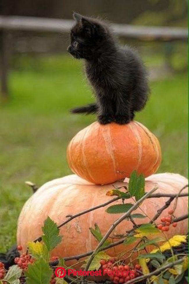 ✰ Ayla ✰ on Twitter | Cats, Black cat halloween, Cute cats
