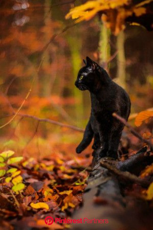 Autumn Photo: the beauty of autumn????❤️???????? in 2021 | Black cat, Cute animals, Crazy cats
