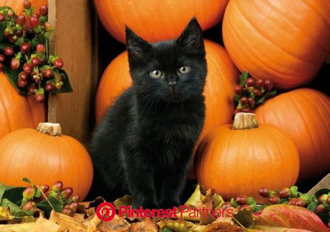 Myths And Legends: Why Cats Are Linked With Halloween - CatTime | Fall cats, Black cat halloween, Halloween cat